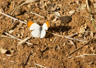 Small Orange Tip