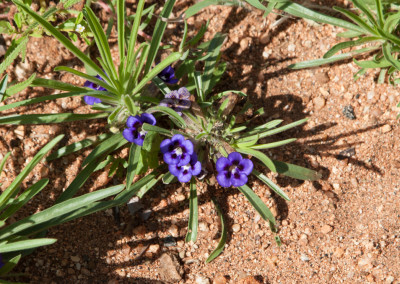 Carpet Flower