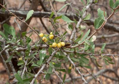 Spikethorn