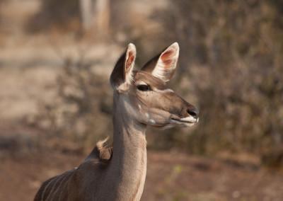 Kudu (F)