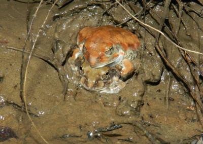 Russet-backed Sand Frog