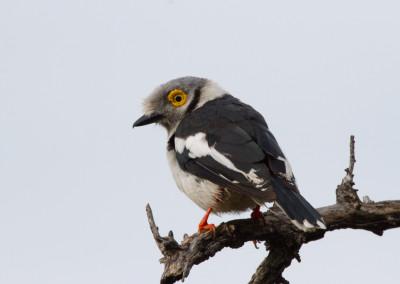 White-crested Helmet-Shrike