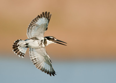 Pied Kingfisher (F)