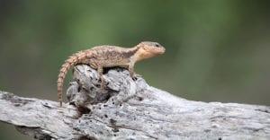 Jones Girdled Lizard