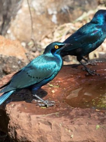 Greater Blue=eared Starling small